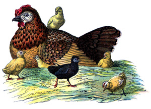 chickens vintage image graphicsfairy2